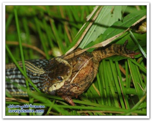 صور الأفاعي والتهام الضفادع