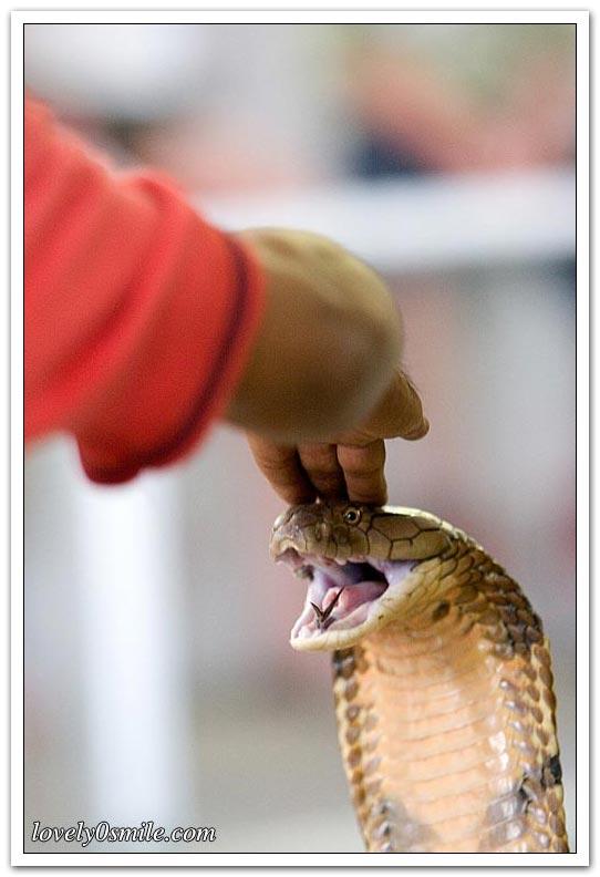 تقبيل رأس الثعبان - صور