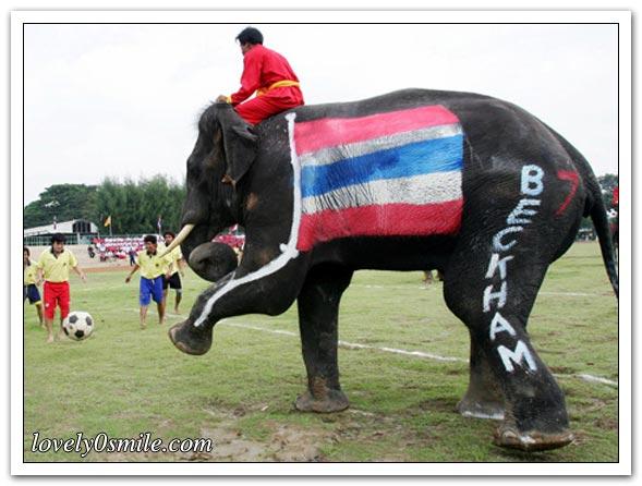 الفيلة تلعب كرة القدم - صور