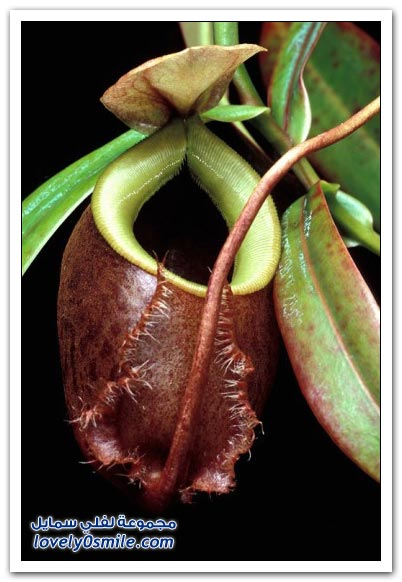 صور نباتات آكلات الحشرات
