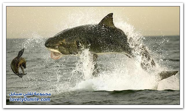 صور قفزة القرش الأبيض الكبير