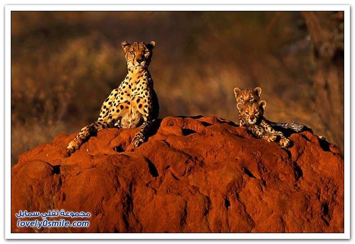 صور من عالم الحيوان: الأسد والفهد والنمر ج4