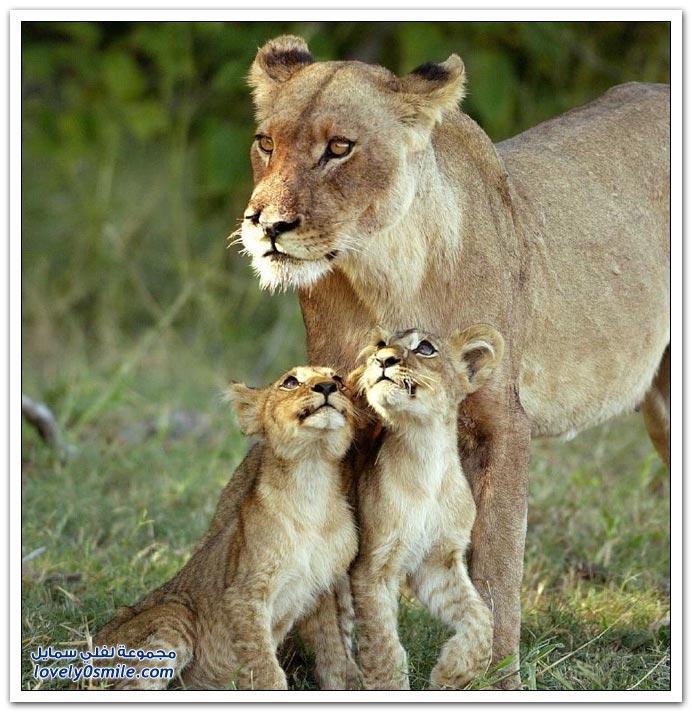 صور من عالم الحيوان: الأسد والفهد والنمر ج3