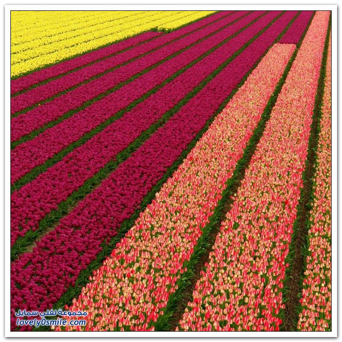 صور من مزارع الورود