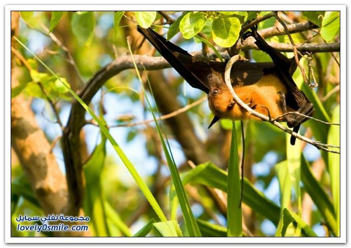 صور من عالم الخفافيش ج1
