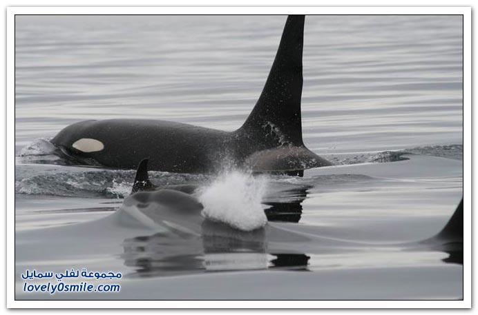 صور الحوت القاتل
