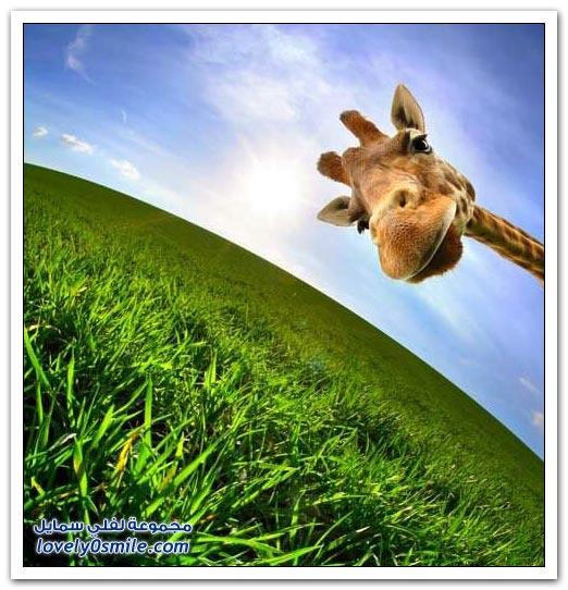 صور من عالم الحيوان: الزرافة