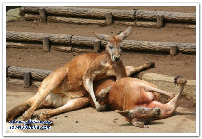 صور من عالم الحيوان: الكنغر