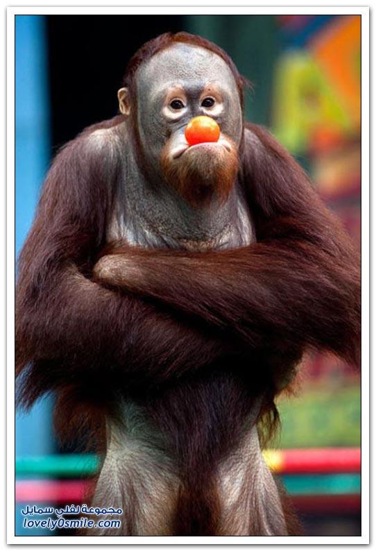 صور لملاكمة القرود