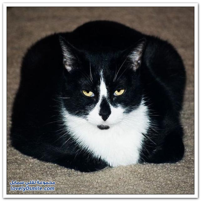 صور: قطط أحجام كبيرة