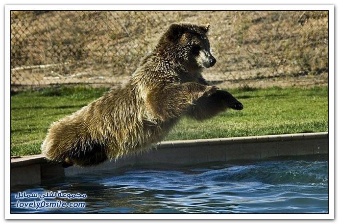 صور: اللعب مع الدببة