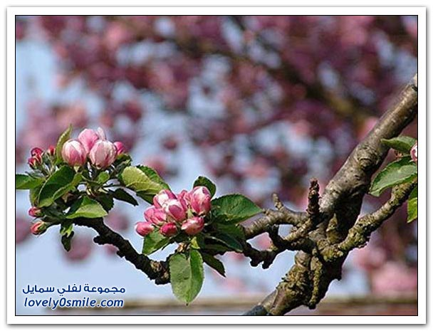 صور شجرة التفاح , ناكل التفاح ولا نعرف شجرته