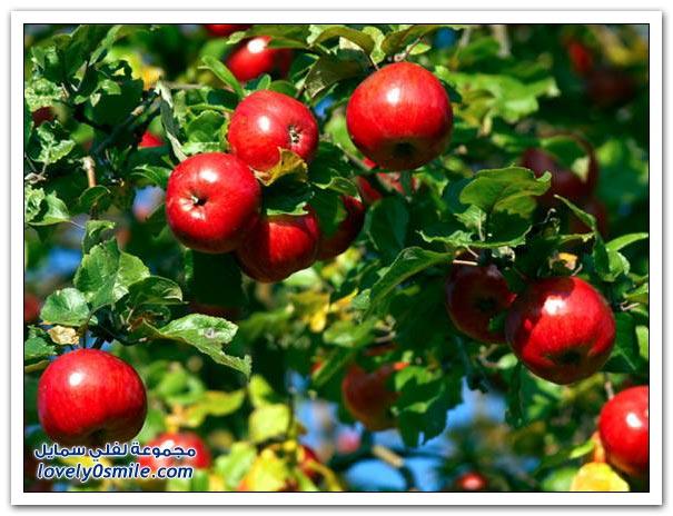 شجرة التفاح Apple-16.jpg