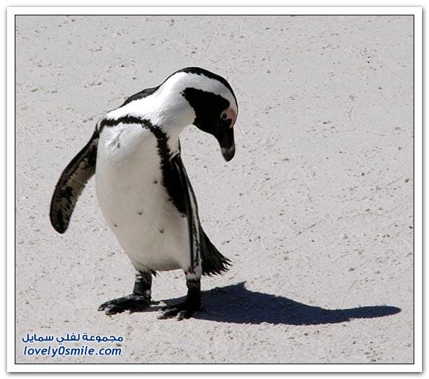 صور من عالم الحيوان: البطاريق