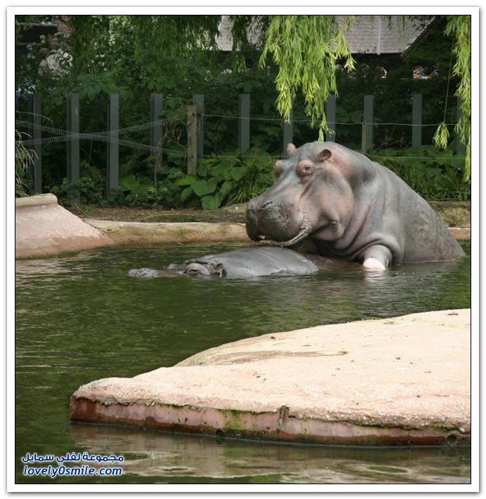 صور من عالم الحيوان: فرس النهر