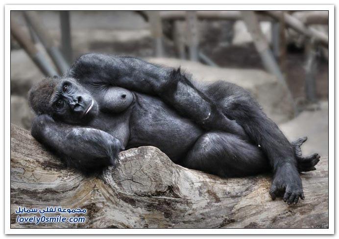 صور من عالم الحيوان: القرود ج2