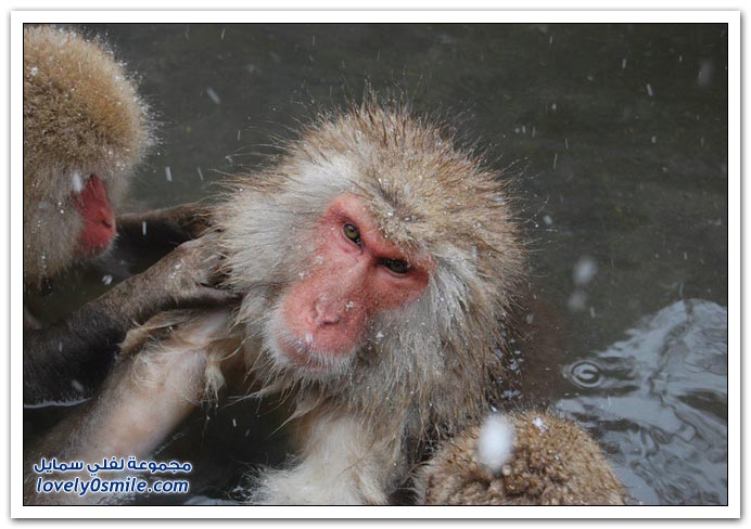 صور من عالم الحيوان: القرود ج3