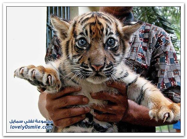 صور من عالم الحيوان: الأسد والفهد والنمر ج2