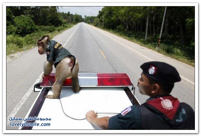 صور: في تايلاند القرد أصبح في الشرطة