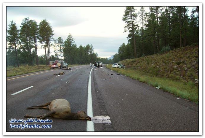 صور حوادث حيوانات
