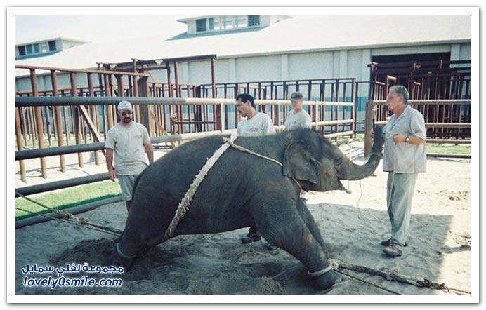 صور تدريب طفل الفيل وما يعانيه أثناء التدريب