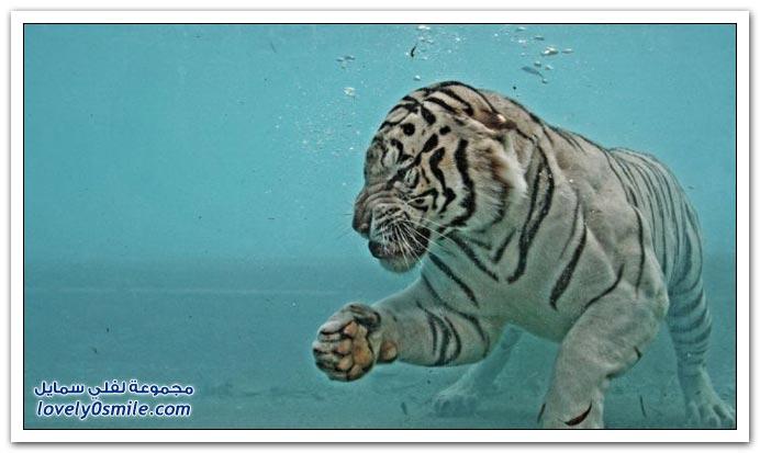 صور للنمر الأبيض وهو يأكل تحت الماء