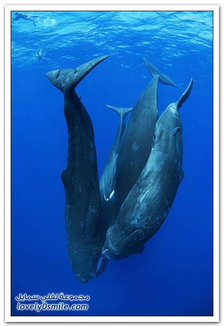 السباحة مع الحيتان