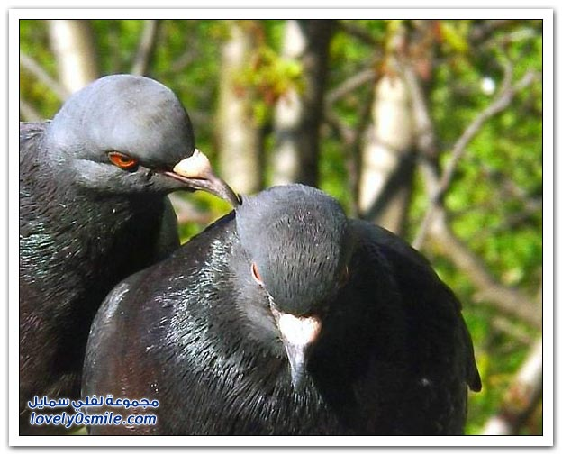 جميلة للحمام Pigeons-01.jpg