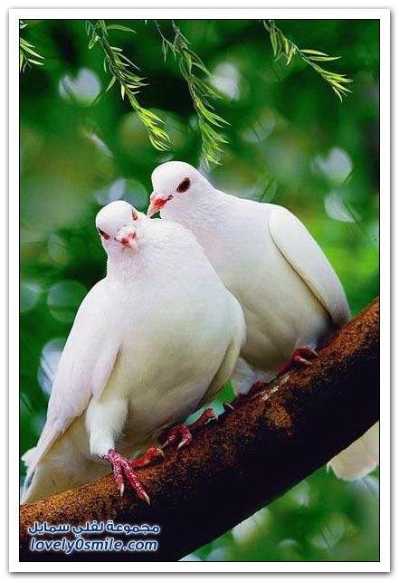 جميلة للحمام Pigeons-03.jpg