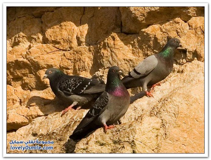 جميلة للحمام Pigeons-06.jpg