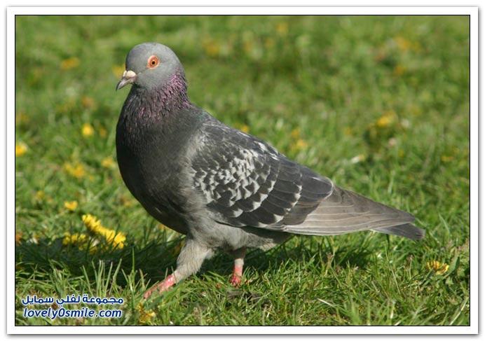 جميلة للحمام Pigeons-07.jpg