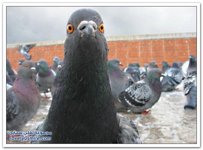 جميلة للحمام Pigeons-08.jpg