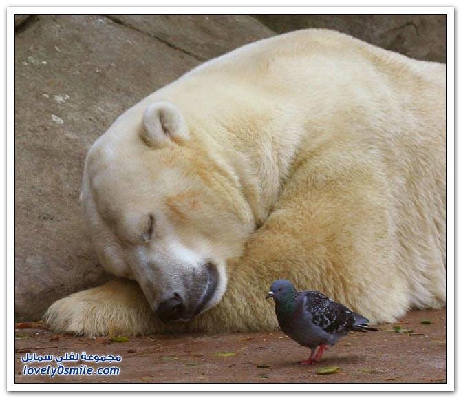 جميلة للحمام Pigeons-09.jpg