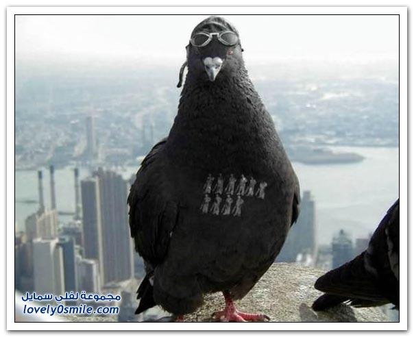 جميلة للحمام Pigeons-10.jpg