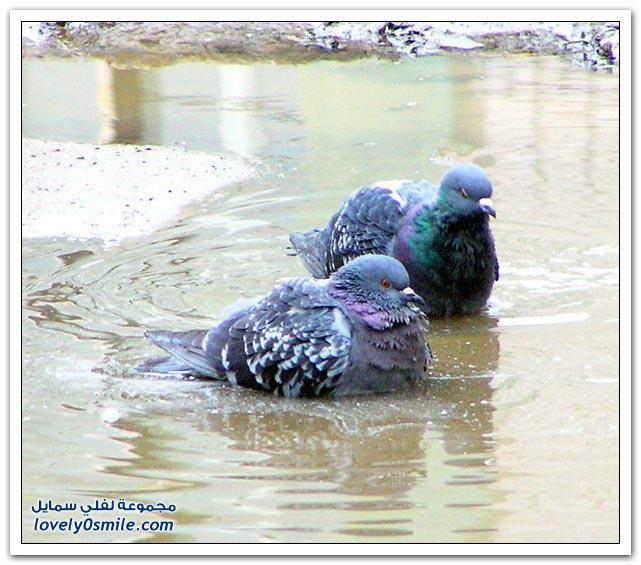 جميلة للحمام Pigeons-11.jpg