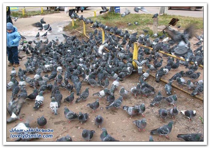 جميلة للحمام Pigeons-12.jpg