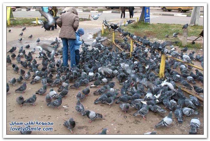 جميلة للحمام Pigeons-13.jpg