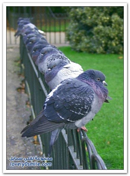 جميلة للحمام Pigeons-14.jpg