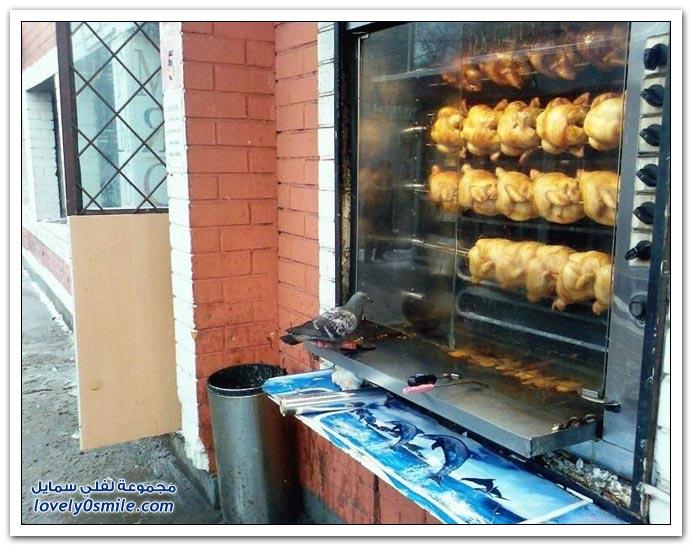 جميلة للحمام Pigeons-15.jpg