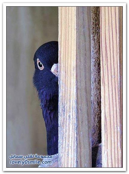 جميلة للحمام Pigeons-19.jpg