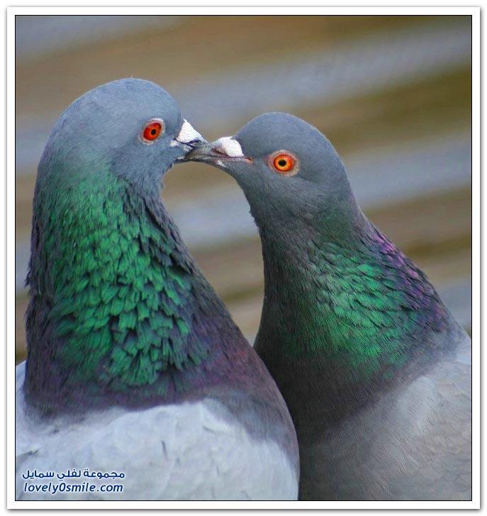 جميلة للحمام Pigeons-20.jpg