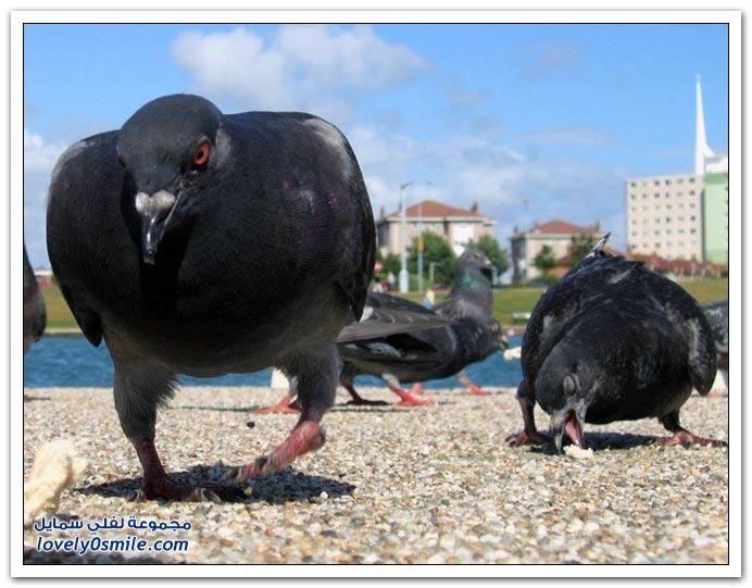 جميلة للحمام Pigeons-22.jpg