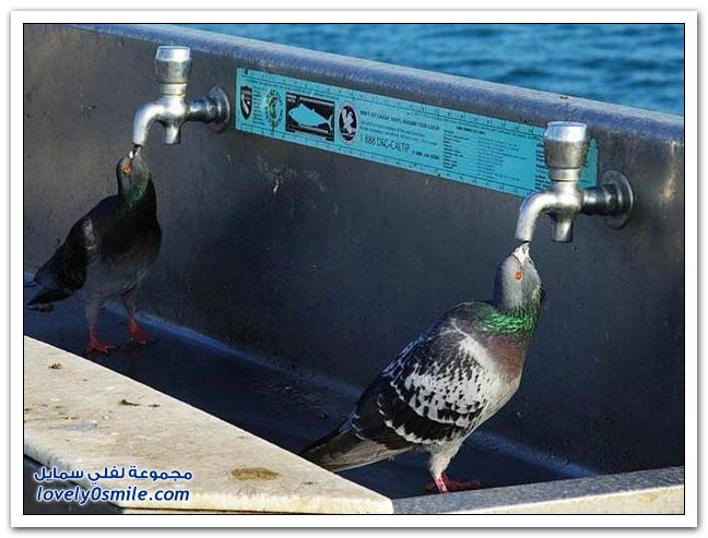 جميلة للحمام Pigeons-24.jpg