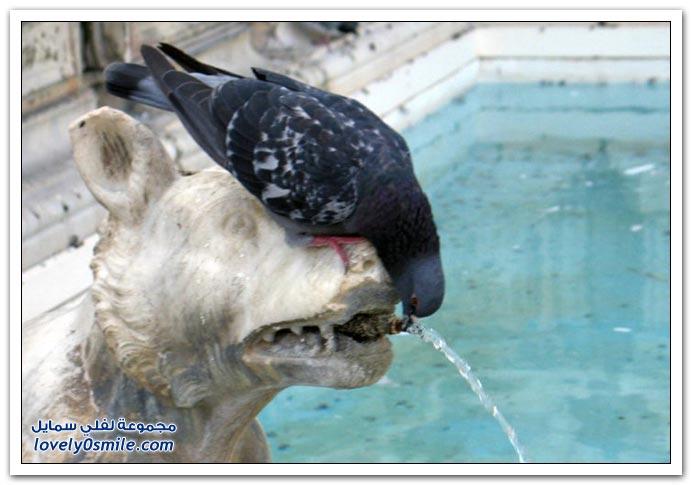 جميلة للحمام Pigeons-26.jpg