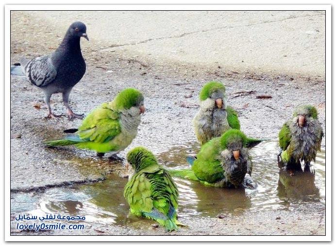 جميلة للحمام Pigeons-27.jpg