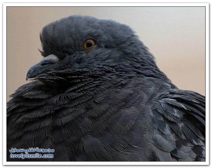 جميلة للحمام Pigeons-28.jpg