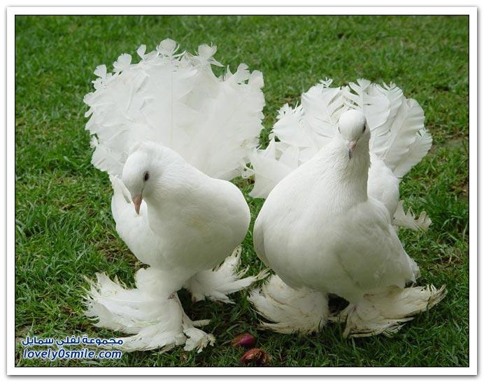 جميلة للحمام Pigeons-29.jpg