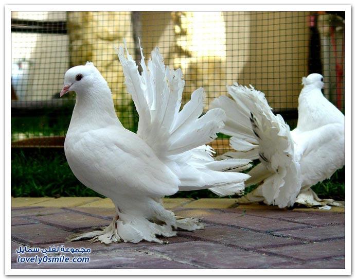 جميلة للحمام Pigeons-30.jpg