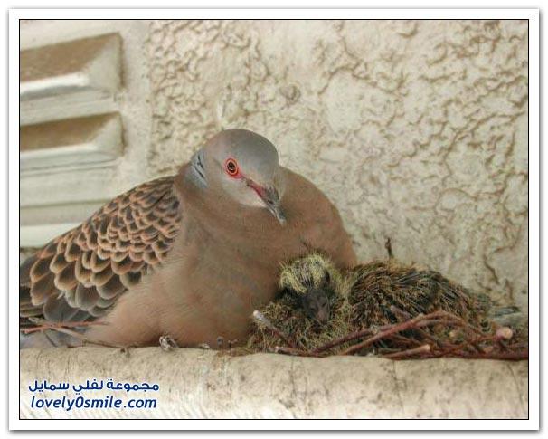 جميلة للحمام Pigeons-32.jpg