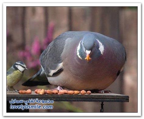 جميلة للحمام Pigeons-36.jpg
